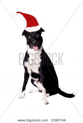 A border collie cross dog wearing a christmas hat over white. poster