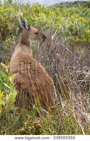 Western Grey Kangaroo, Macropus Fuliginosus, Photo Was Taken In The Cape Le Grand National Park, Wes
