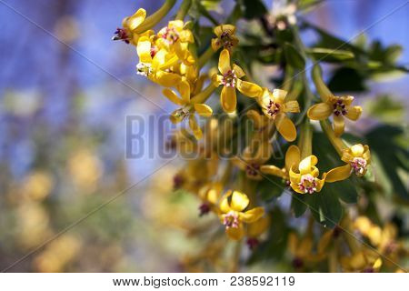 Flowering currant image photo free trial bigstock flowering currant yellow flowers in spring ribes aureum mightylinksfo