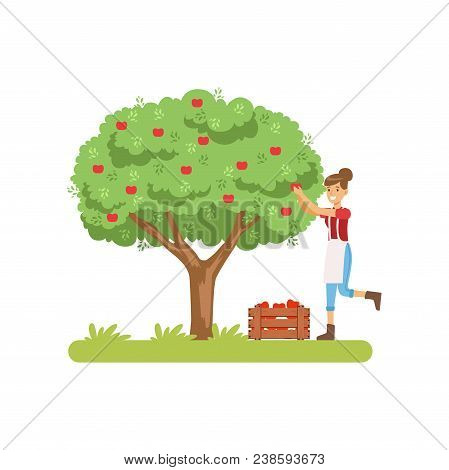 Smilng Woman Picking Apples From Tree To Basket, Juice Production Process Stage Vector Illustration