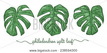 Leaves Of Philodendron Elements Set. Botany Hand Drawn Graphic Illustration. Collection Of Philodend