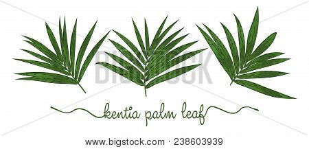 Leaves Of Howea Forsteriana Elements Set. Botany Hand Drawn Graphic Illustration. Collection Of Kent