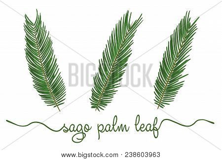 Leaves Of Sago Palm Elements Set. Botany Hand Drawn Graphic Illustration. Collection Of Sagu Foliage