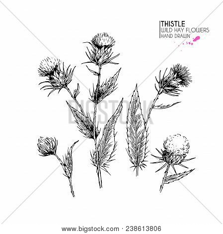 Hand Drawn Wild Hay Flower. Milk Marian Thistle. Medical Herb. Vintage Engraved Art. Botanical Illus