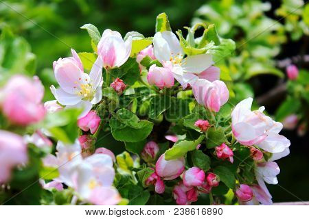 Apple trees are blooming. Flowering trees. Pink Apple flowers blossom. Apple tree are blooming in sky background. White Apple tree blossoms. The Apple tree twig with white flowers Spring flower background. Apple tree blossom. Apple blossoms in the sun