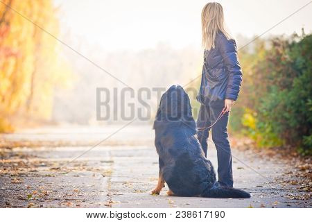 Bernese Mountain Dog Walking In An Autumn Park, Sits On The Sidewalk And They Look Away, Turning The