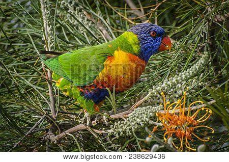 Rainbow Lorikeets (trichoglossus Haematodus) Are Brightly Colored, Medium-sized Parrots