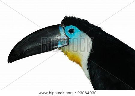 Channel-billed Toucan2