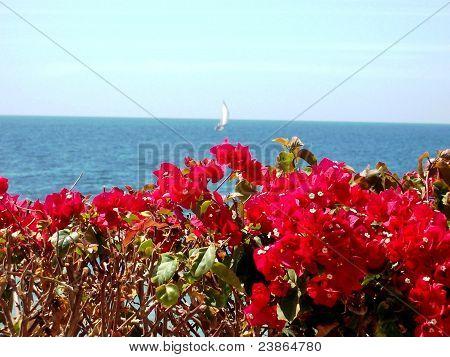 Bouganvillas by the Ocean