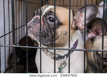 Brown White French Bulldog In Small Cage