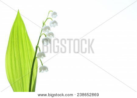 Lily Of The Valley, A Species Of Rhizome Perennials From The Monotype Type Lily Of The Valley.