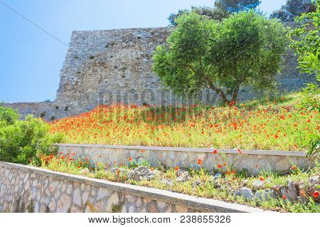 Vieste, Italy, Europe - Poppy Field At The Historic Fortress Of Vieste