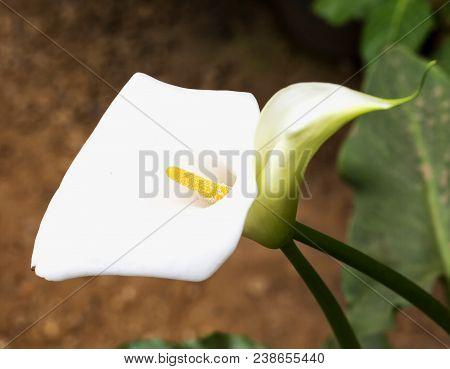 White Calla In Close Up