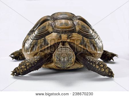 Turtle front view isolated on white background