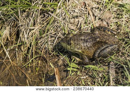 A Green Frog Relaxing On The Bank Of A Pond.