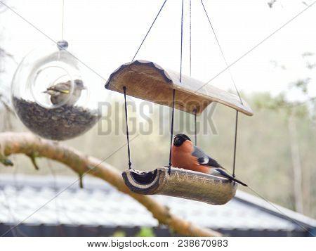 Eurasian Bullfinch, Pyrrhula Pyrrhula, Birds In Spring