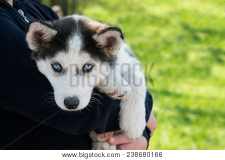 Cute Puppy Siberian Husky Black And White With Blue Eyes On The Hands Of The Owner. Blue-eyed Sad Si