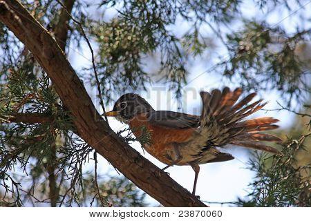 Robin Tail Fan