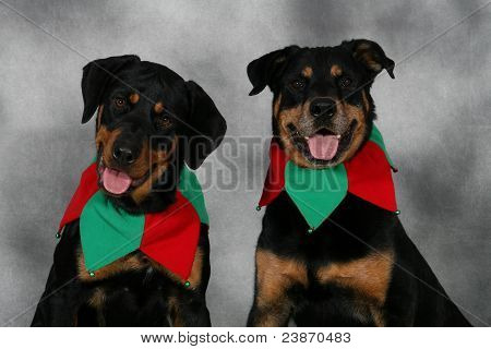 Two holiday Rottweilers