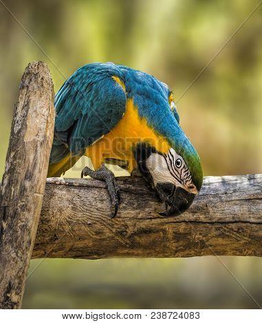 Blue And Gold Macaw - Big Parrot. (ara Ararauna)