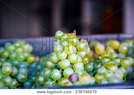 Green Grape As Food Background. The Close-up Of Tasty Natural And Fresh Grapes. Close Up Image Of Yu