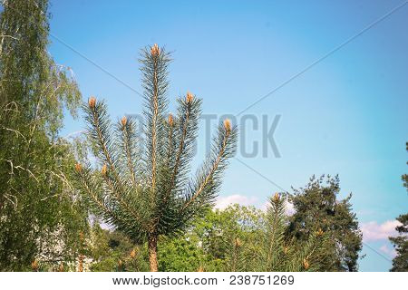 Top Of Pine Tree, Selective Focus, Blurry And Bokeh Background. The Top Of The Pine Tree. The Tip Of