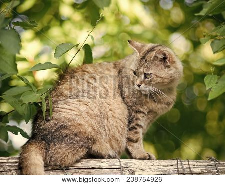 Adorable Cat With Furry Coat Sit On Fence On Summer Nature Background. Feline, Domestic Animal, Mamm