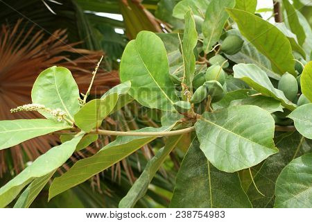 Green color unripe Indian Almond fruits on the tree (Tropical Almond, Combretaceae). Leaves for aquarium poster
