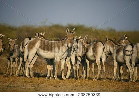 Asiatic Wild Ass, Equus hemionus khur, Little Rann of Kutch, Gujarat, India poster