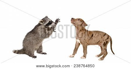 Playful Raccoon And Cute Pit Bull Puppy Isolated On White Background