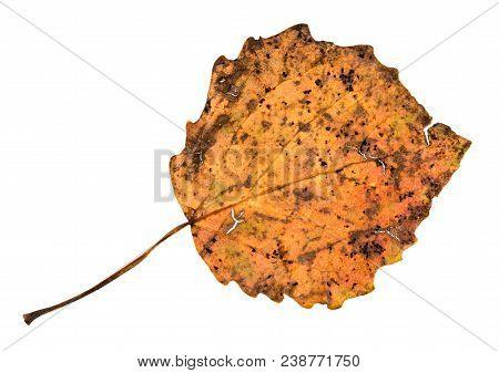 Back Side Of Broken Autumn Fallen Leaf Of Aspen Tree Isolated On White Background