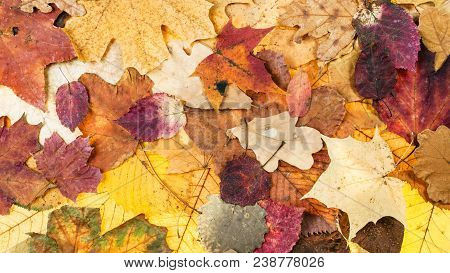 Panoramic Autumn Background From Various Colorful Leaves Of Oak, Maple, Alder, Aspen Trees