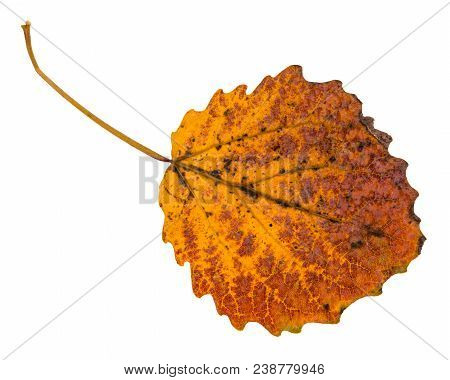 Pied Yellow Fallen Leaf Of Aspen Tree Isolated On White Background