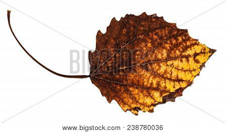 Decayed Dried Leaf Of Aspen Tree Isolated On White Background
