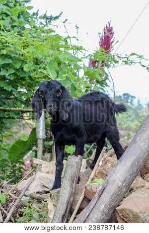 Young Black Goat In A Country House Garden In Kathmandu, Nepal