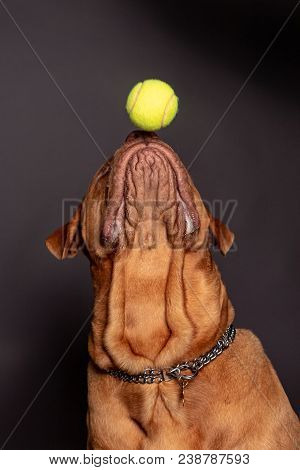 Dogue De Bordeaux Dog Play With A Tenns Ball Over His Nose. Gray Background.