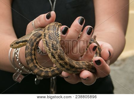 Cocullo, Italy - May 1, 2018: Cocullo Feast Of St. Dominic. Woman Hand With Snake