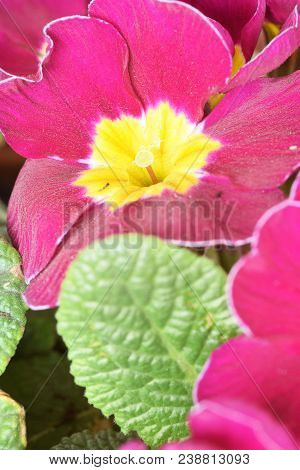 A Flowering Primrose In The Garden Announces The Arrival Of Spring 055
