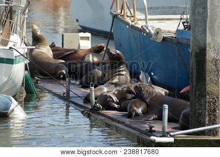 Harbor Seals Sunbathing In Moss Landing, California. Photo Taken April 28, 2018.