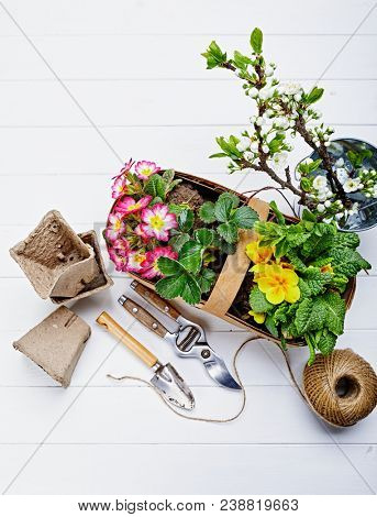 Spring flower primula in wicker basket top view on white wooden board with garden tools secateur sack and hank thread. poster