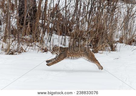 Bobcat (lynx Rufus) Leaps Left - Captive Animal