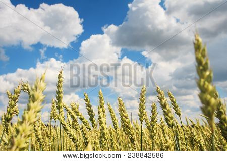 Ripe Yellow Golden Wheat Against Blue Sky With White Clouds. Harvest Concept. Harvesting Of Wheat Gr