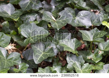 Close Up Of A Patch Of Teneciously Invasive English Ivy In Summer, A Thriving Plant Often Used As Gr
