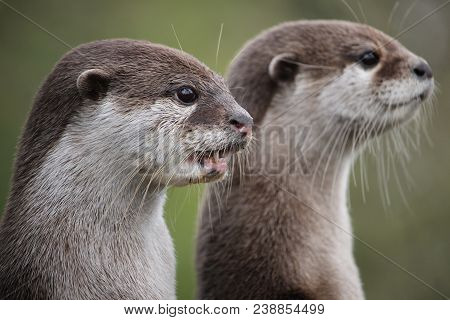 Cute Close Up Portrait Of A Pair Of Two Asian Or Oriental Small Clawed Otter (aonyx Cinerea) With Ou