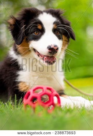 Happy Aussie lying on meadow with green grass in summer or spring. Beautiful Australian shepherd puppy 3 months old - portrait close-up. Cute dog enjoy playing at park outdoors.