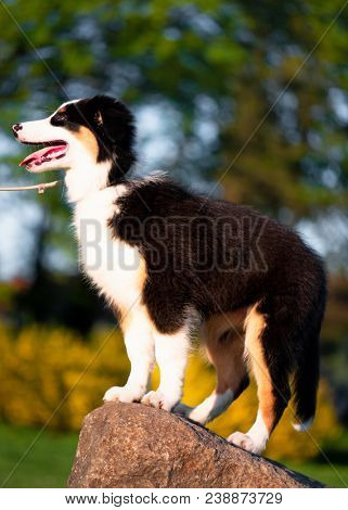 Happy Aussie dog at meadow with green grass in summer or spring. Beautiful Australian shepherd puppy 3 months old. Cute dog enjoy playing at park outdoors.