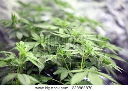 Marijuana plants. Marijuana farming. prop. 64.  Marijuana Flower Close Up.