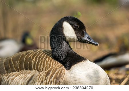 Close-up Of A Beautiful Young Canada Goose In Spring. View To A Perching Canada Goose (branta Canade