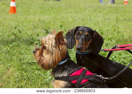 Animals,pets,dogs Concept.dogs Outdoors,cropped Shot.yorkshire Terrier And Black Dachshund Over Gree