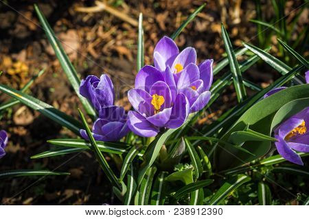 Several  Lilac Crocuses  Growing From Black Soil In Springtime